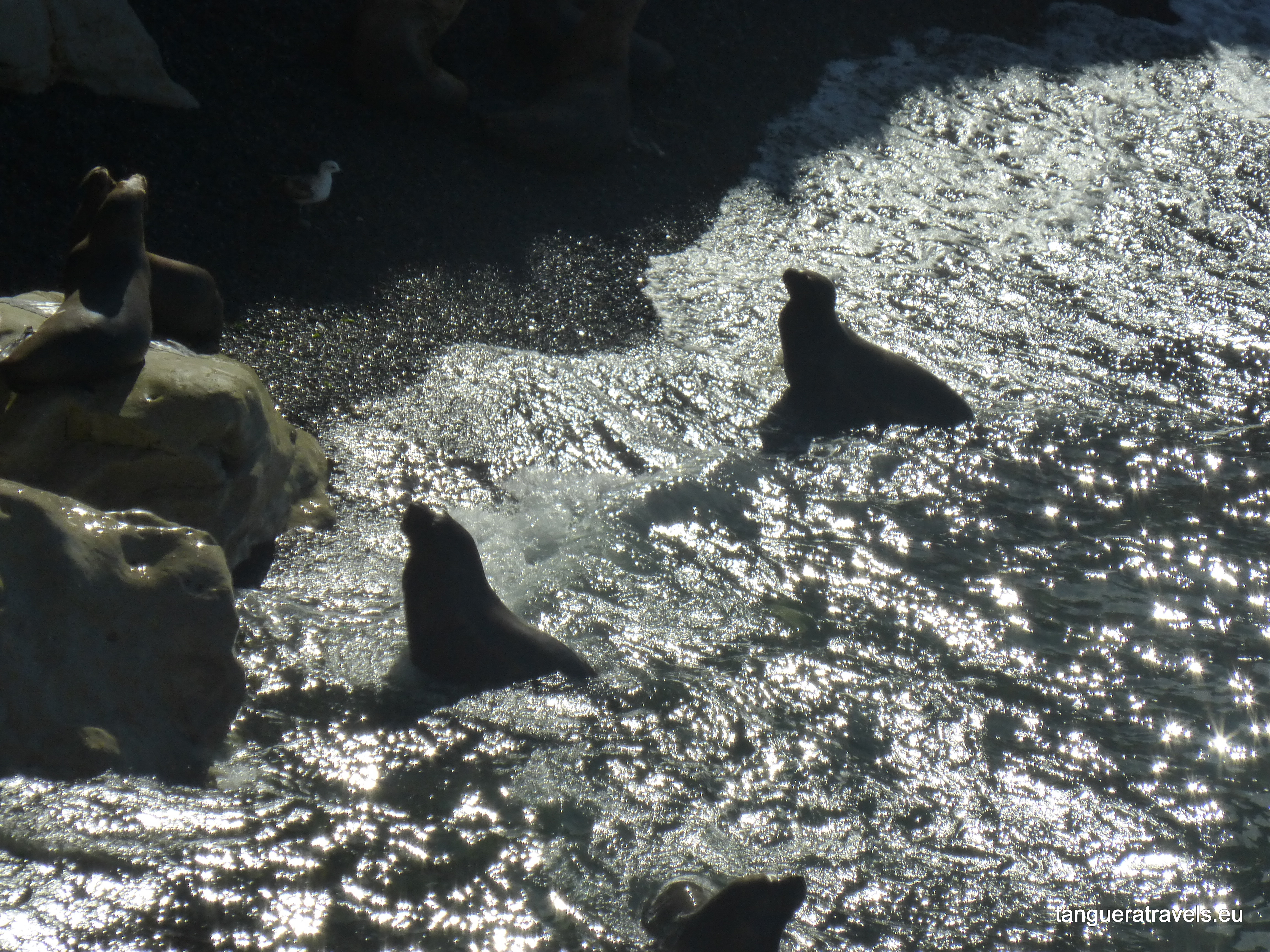 Sea lions swimming at Punta Loma