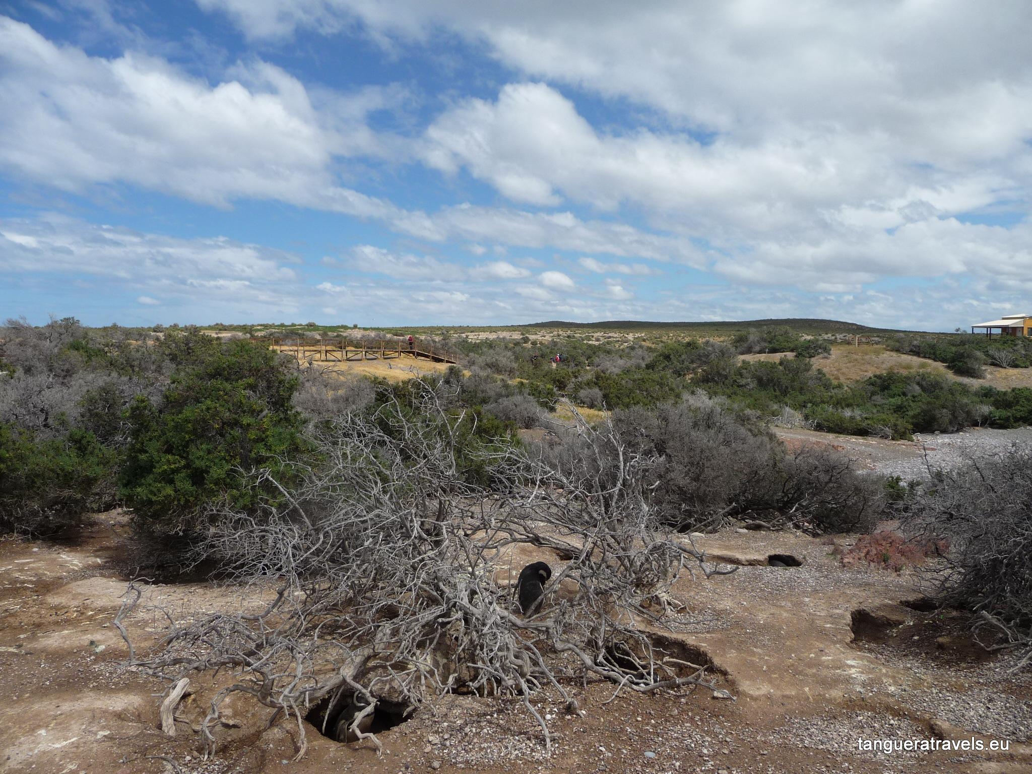 petrified tree with penguin, Punta Tombo